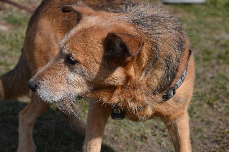 Jack - Hundeopa - Terrier - knapp 14 Jahre - Seite 2 13900607ky