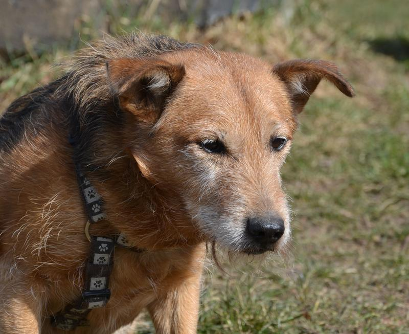 Jack - Hundeopa - Terrier - knapp 14 Jahre - Seite 2 13900609dh