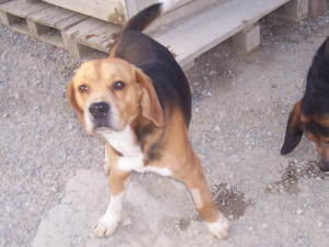 Scotti der Beagle 14062829yg
