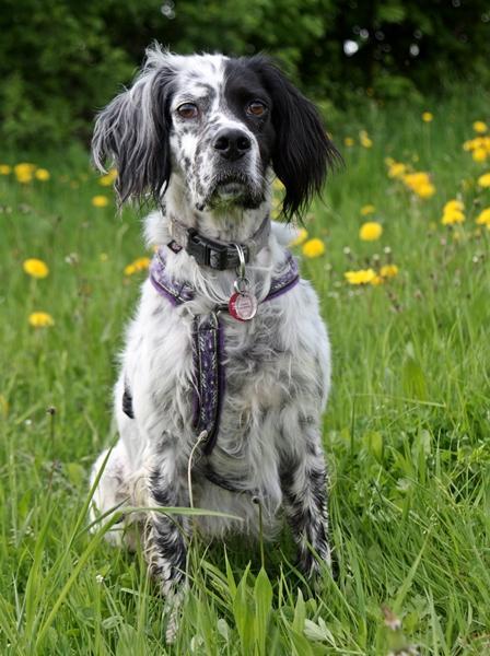 Bildertagebuch - Ginger lebt jetzt als Dauerpflegehund bei ihrer Pflegefamilie 14510956mo