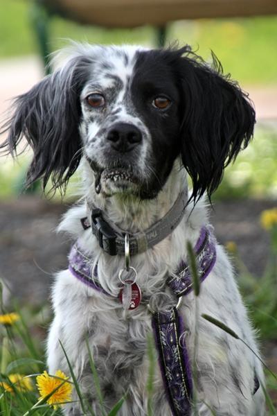 Bildertagebuch - Ginger lebt jetzt als Dauerpflegehund bei ihrer Pflegefamilie 14510963ri