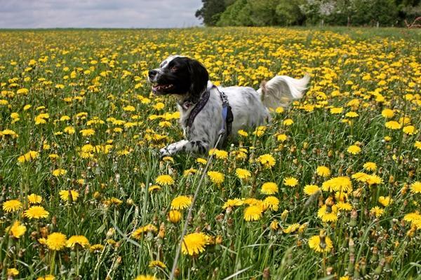 Bildertagebuch - Ginger lebt jetzt als Dauerpflegehund bei ihrer Pflegefamilie 14510965kf