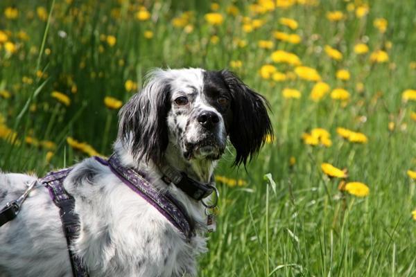 Bildertagebuch - Ginger lebt jetzt als Dauerpflegehund bei ihrer Pflegefamilie 14510967ql