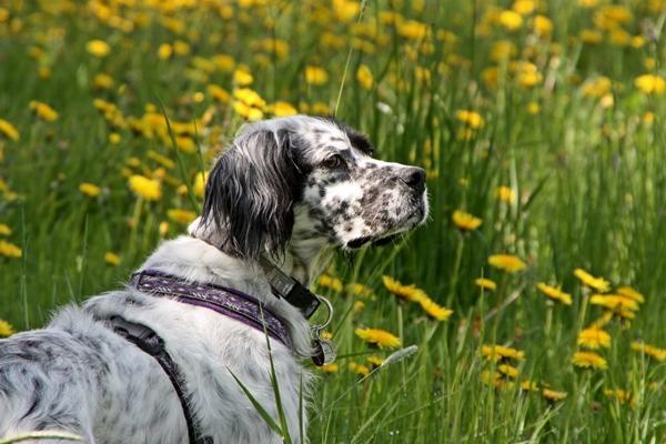 Bildertagebuch - Ginger lebt jetzt als Dauerpflegehund bei ihrer Pflegefamilie 14510968du