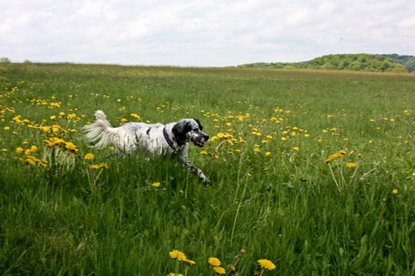 Bildertagebuch - Ginger lebt jetzt als Dauerpflegehund bei ihrer Pflegefamilie 14510969iw