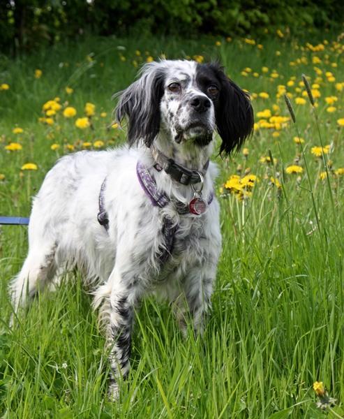 Bildertagebuch - Ginger lebt jetzt als Dauerpflegehund bei ihrer Pflegefamilie 14510971bs