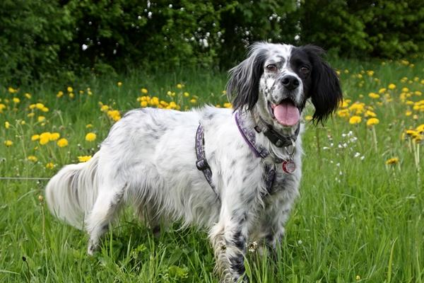 Bildertagebuch - Ginger lebt jetzt als Dauerpflegehund bei ihrer Pflegefamilie 14510972nt