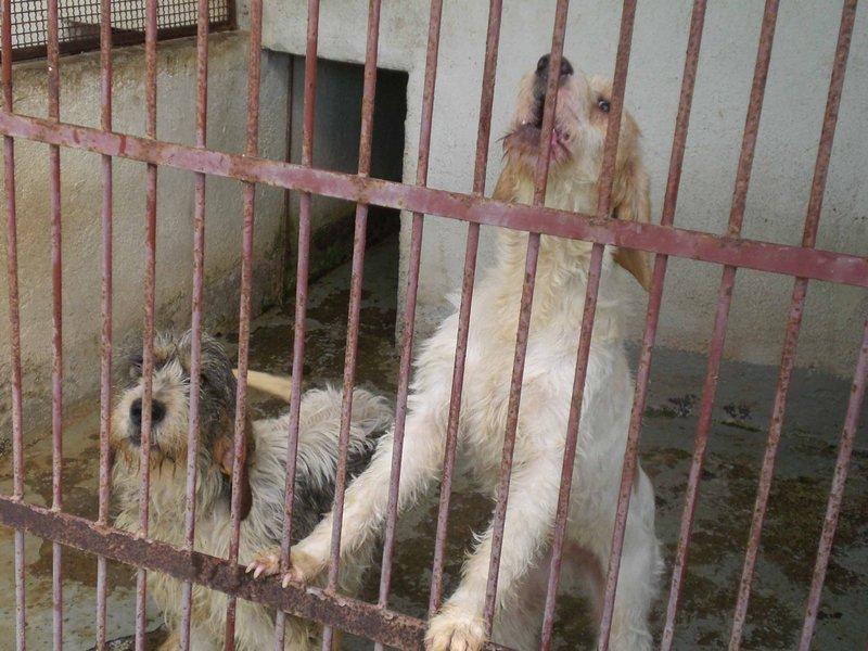 Circe und Penelope - zwei junge Griffon- oder Spinone-Mädels... 14579336wi