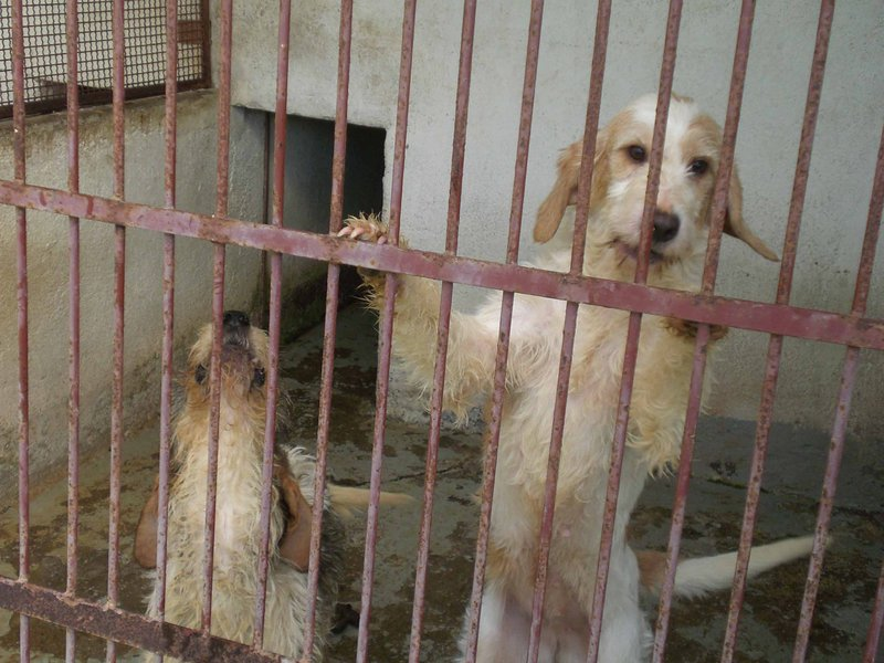 Circe und Penelope - zwei junge Griffon- oder Spinone-Mädels... 14579340ai