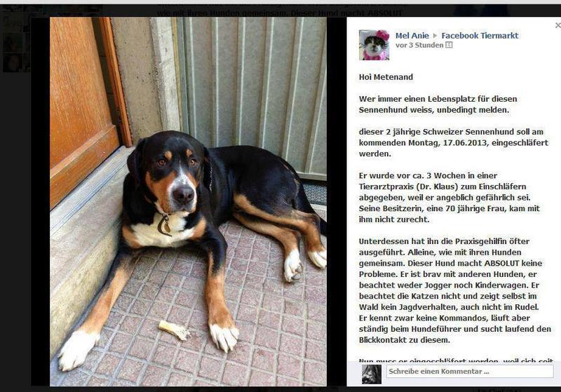 Schweizer Sennenhund hat nur noch Zeit bis zum 17.6. 14839823fs