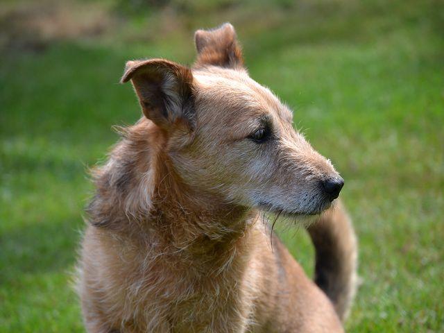 Jack - Hundeopa - Terrier - knapp 14 Jahre - Seite 2 15380555ea