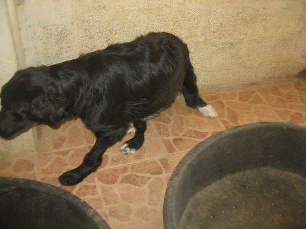 Bildertagebuch - Jule, wundersschönes schwarzes Hundemädel... - in Griechenland VERMITTELT! 15582083qp