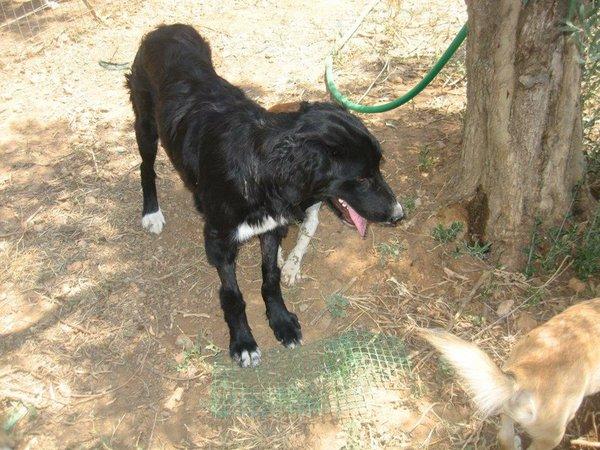 Bildertagebuch - Jule, wundersschönes schwarzes Hundemädel... - in Griechenland VERMITTELT! 15582086zl