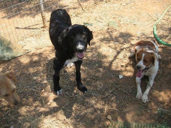 Bildertagebuch - Jule, wundersschönes schwarzes Hundemädel... - in Griechenland VERMITTELT! 15582087sy