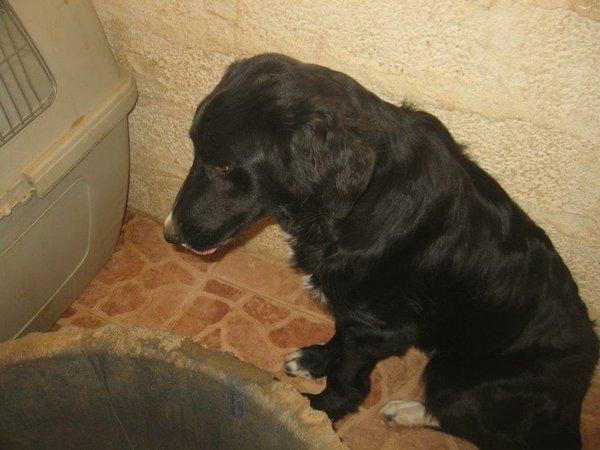 Bildertagebuch - Jule, wundersschönes schwarzes Hundemädel... - in Griechenland VERMITTELT! 15582088rr