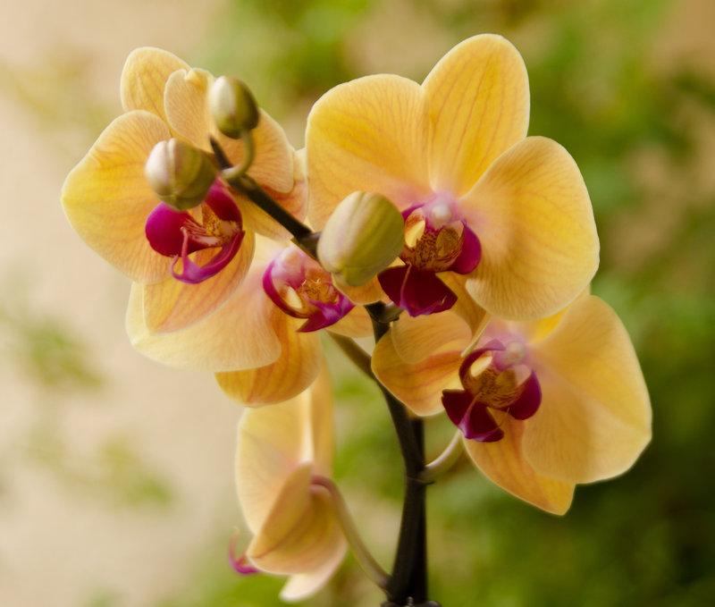 Phalaenopsis - aber welche ist es? 15627234iw