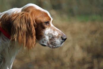 Sir Henry - Irish Red and White Setter wartet im Tierheim der Tiere in Not Odenwald  16374895mf
