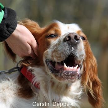 Sir Henry - Irish Red and White Setter wartet im Tierheim der Tiere in Not Odenwald  16374896br
