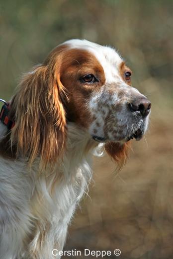 Sir Henry - Irish Red and White Setter wartet im Tierheim der Tiere in Not Odenwald  16374897ta