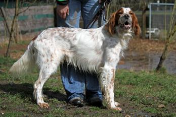 Sir Henry - Irish Red and White Setter wartet im Tierheim der Tiere in Not Odenwald  16374898gl