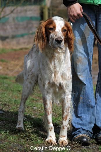 Sir Henry - Irish Red and White Setter wartet im Tierheim der Tiere in Not Odenwald  16374901mn