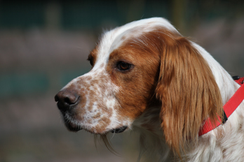 Sir Henry - Irish Red and White Setter wartet im Tierheim der Tiere in Not Odenwald  16374902lj