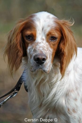 Sir Henry - Irish Red and White Setter wartet im Tierheim der Tiere in Not Odenwald  16374903rv