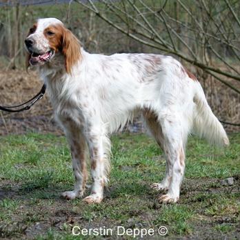 Sir Henry - Irish Red and White Setter wartet im Tierheim der Tiere in Not Odenwald  16374904tq