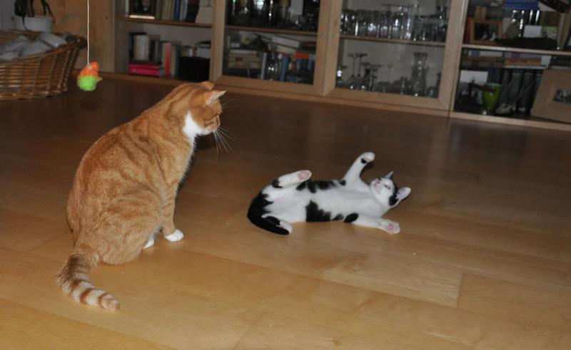 Katzenkinder suchen Zuhause 16543821jz