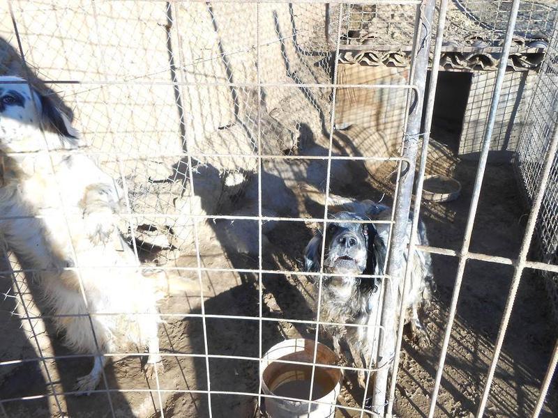 Dringender Spendenaufruf für 30 verwahrloste Hunde aus Sahagun/Spanien 16743447hz