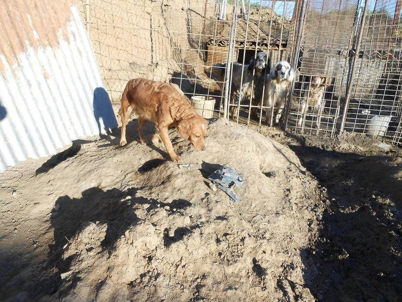 Dringender Spendenaufruf für 30 verwahrloste Hunde aus Sahagun/Spanien 16743449xj