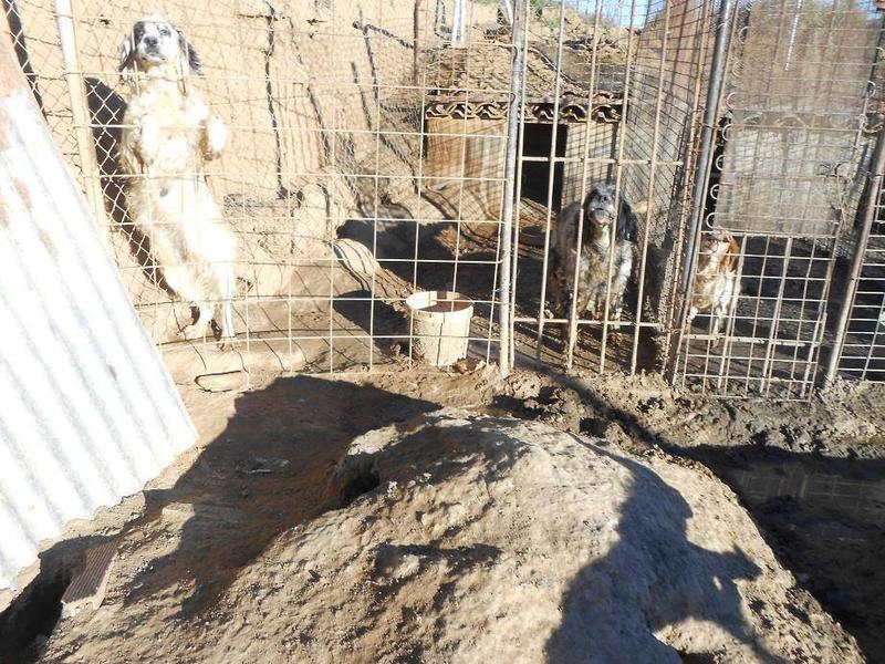 Dringender Spendenaufruf für 30 verwahrloste Hunde aus Sahagun/Spanien 16743476zy