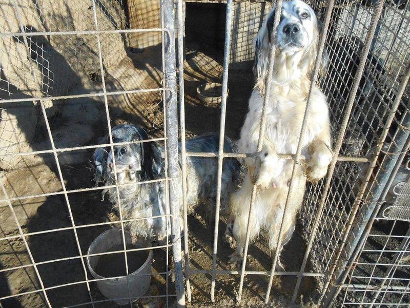 Dringender Spendenaufruf für 30 verwahrloste Hunde aus Sahagun/Spanien 16743478gg
