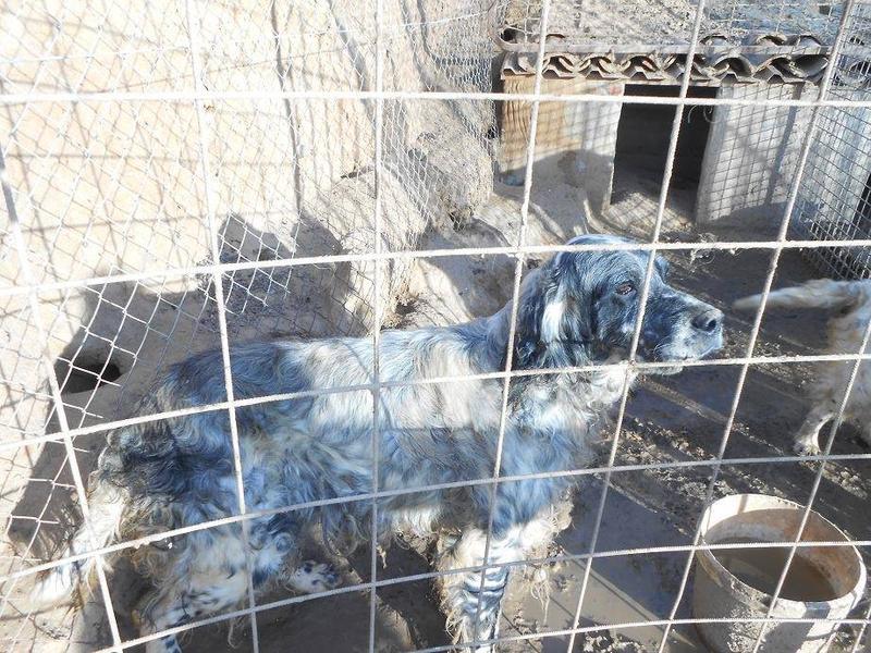 Dringender Spendenaufruf für 30 verwahrloste Hunde aus Sahagun/Spanien 16743479qi