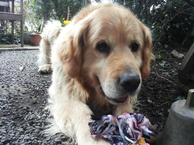 TIMO - Golden Retriever möchte endlich Familienhund sein dürfen! 17635926cj