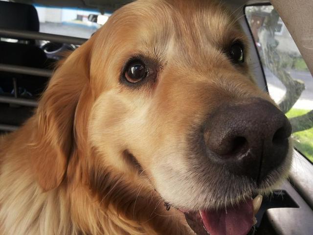 TIMO - Golden Retriever möchte endlich Familienhund sein dürfen! 17635927kk