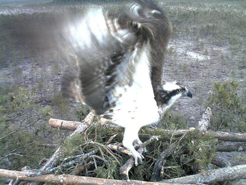 Latvian Osprey Nest ~ 2014 ~ Pērkons & Lauma - Page 2 17847551rs