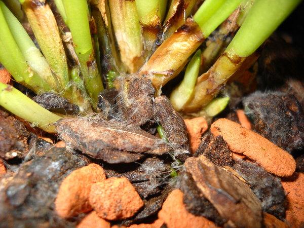 meine Masdevallia bicolor... wie zu kultivieren 19221046mh