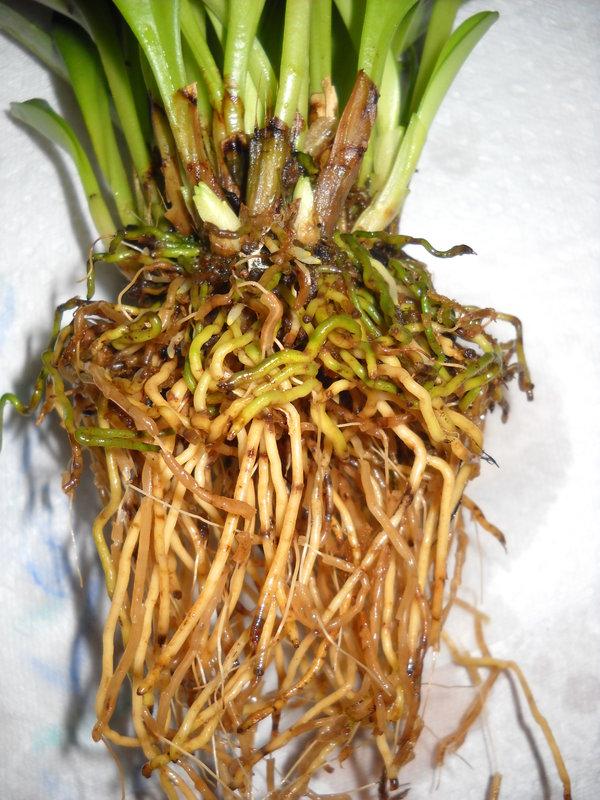 meine Masdevallia bicolor... wie zu kultivieren 19221047vy