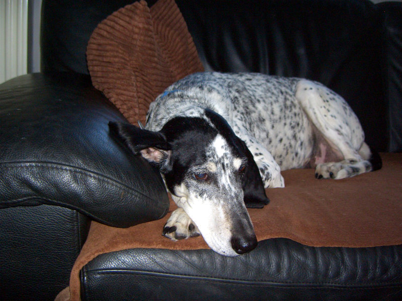 Iren, ältere Brackendame sucht eigenes Sofa... - wird über andere Orga vermittelt. 19601324nf