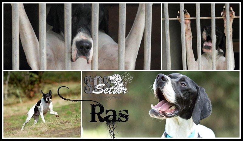 Bildertagebuch - RAS, ein herrlicher junger Pointer... - in Spanien ZUHAUSE GEFUNDEN! 20103323ha
