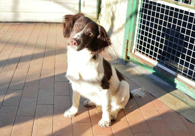 Bildertagebuch - Mass, ein junger Springer Spaniel sucht sein Glück - in Italien ZUHAUSE GEFUNDEN! 20902526iq