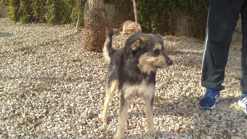 Bildertagebuch - Nepomuk, der verschmuste, braun-schwarzer Terrier Mischling...in Spanien sein ZUHAUSE GEFUNDEN! 20951450vr
