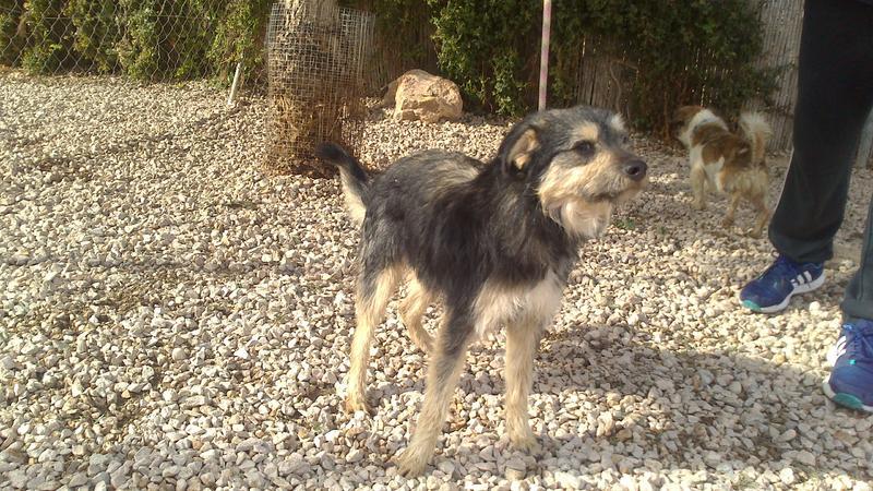 Bildertagebuch - Nepomuk, der verschmuste, braun-schwarzer Terrier Mischling...in Spanien sein ZUHAUSE GEFUNDEN! 20951459zy