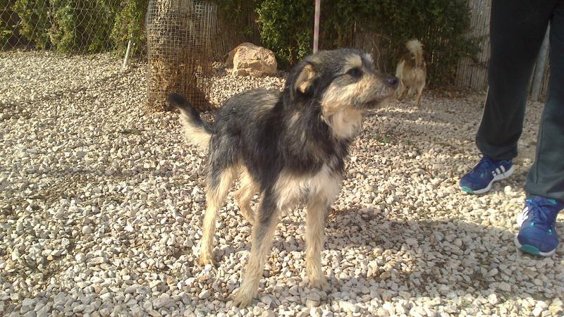 Bildertagebuch - Nepomuk, der verschmuste, braun-schwarzer Terrier Mischling...in Spanien sein ZUHAUSE GEFUNDEN! 20951461uv