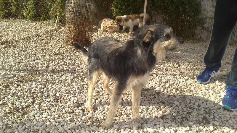 Bildertagebuch - Nepomuk, der verschmuste, braun-schwarzer Terrier Mischling...in Spanien sein ZUHAUSE GEFUNDEN! 20951463fw
