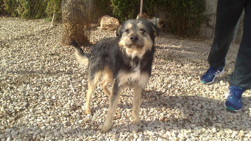 Bildertagebuch - Nepomuk, der verschmuste, braun-schwarzer Terrier Mischling...in Spanien sein ZUHAUSE GEFUNDEN! 20951465aj