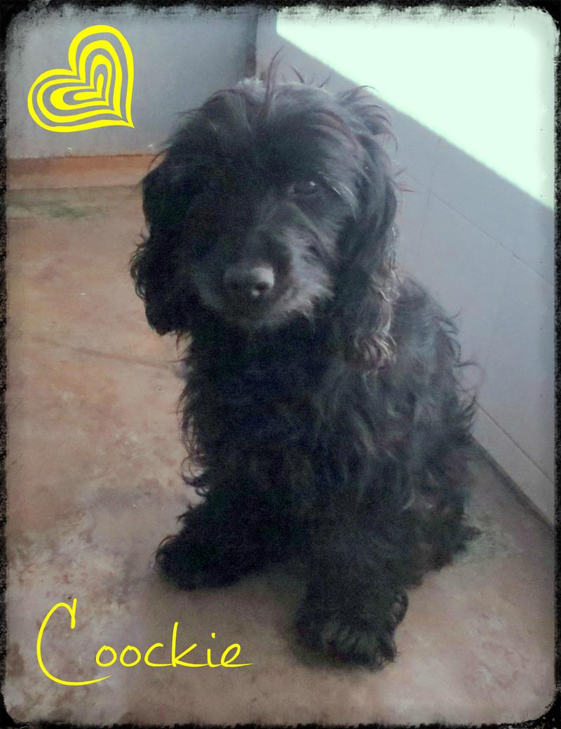 Bildertagebuch - Coockie, sympathische Zuckerschnute... - in Spanien ZUHAUSE GEFUNDEN! 21076937oc