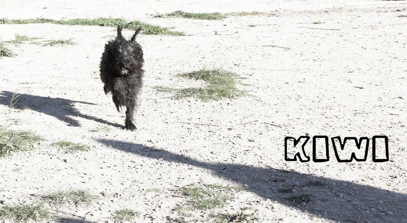 Bildertagebuch - KIWI, lustiger kleine Knopf mit Bart... sucht Spielgefährten fürs Leben! - in Spanien ZUHAUSE GEFUNDEN! 21086953jc