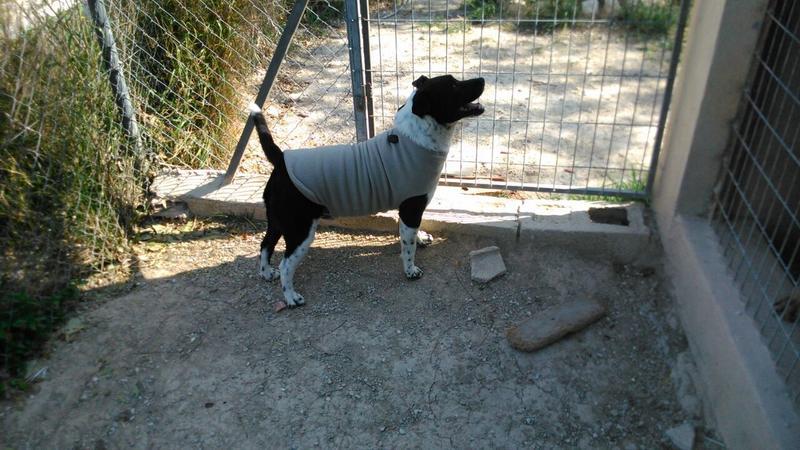 Bildertagebuch - Choped, lustiger Terriermix... - in Spanien ZUHAUSE GEFUNDEN! 21304116rl